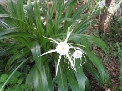 Perikali Spider Lily 1 Feet Flower Plant in polythene bag